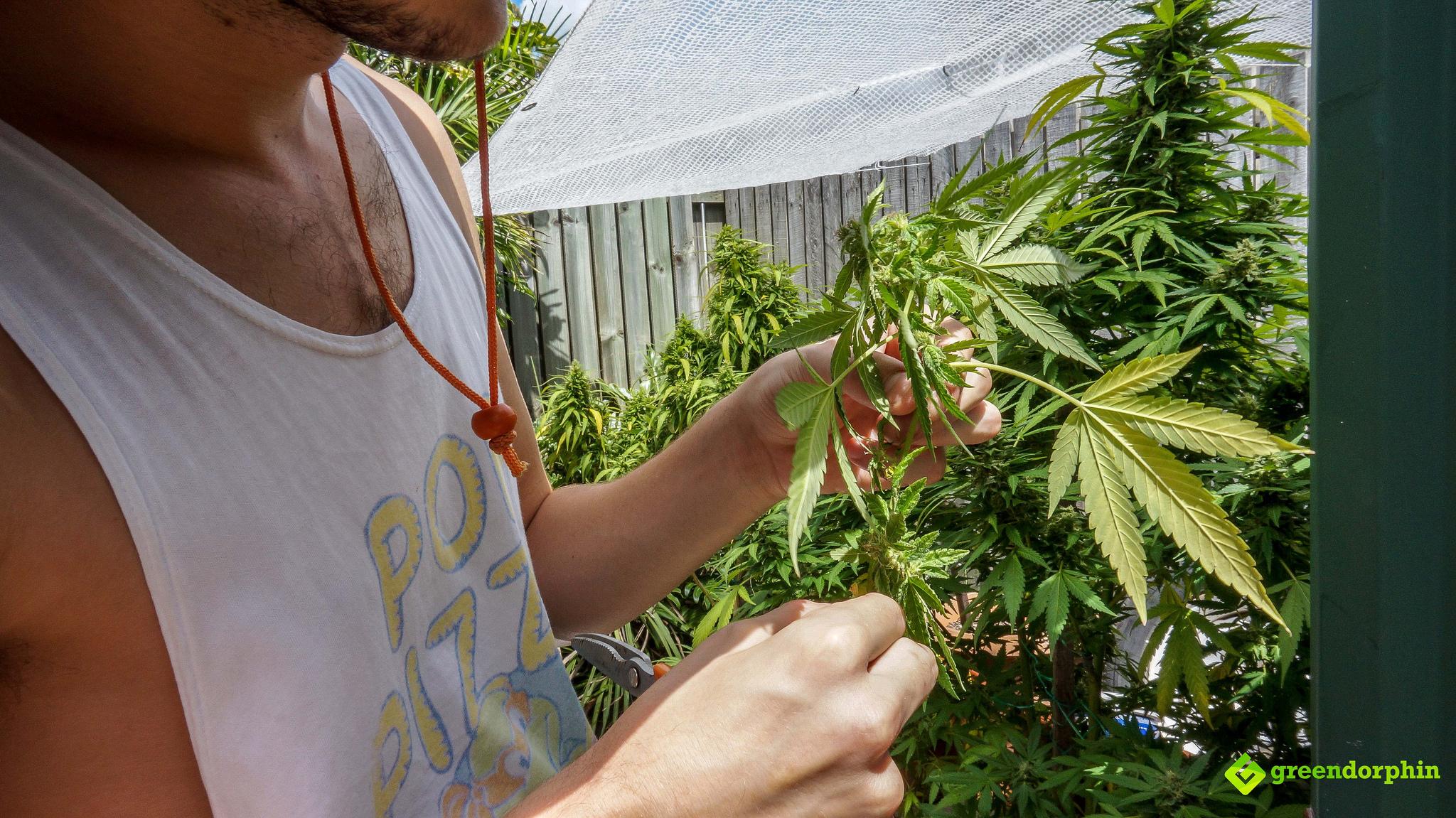 Repot Your Cannabis Plants harvest