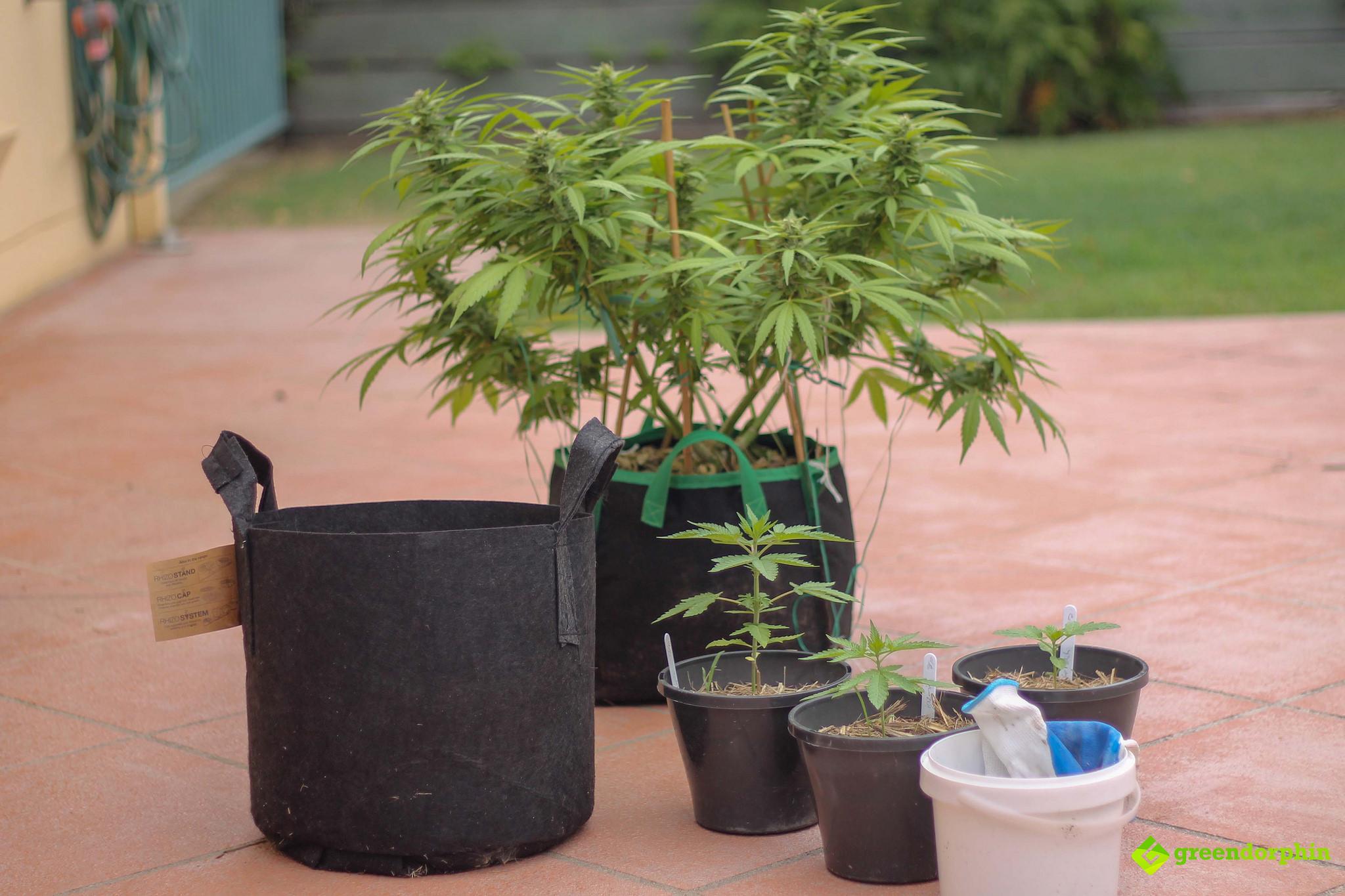 Repot Your Cannabis Plants title shot