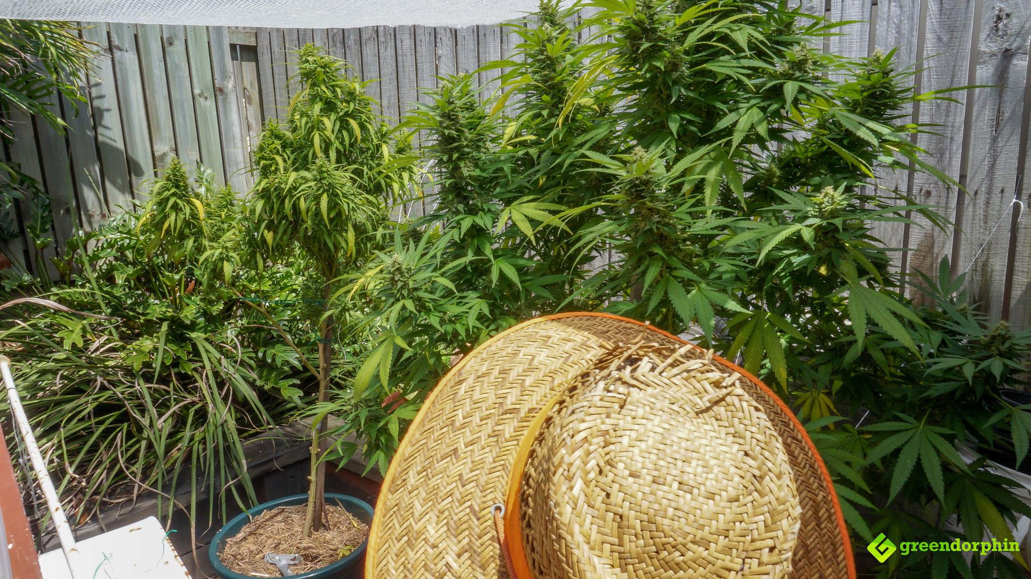 Grow Cannabis outdoors