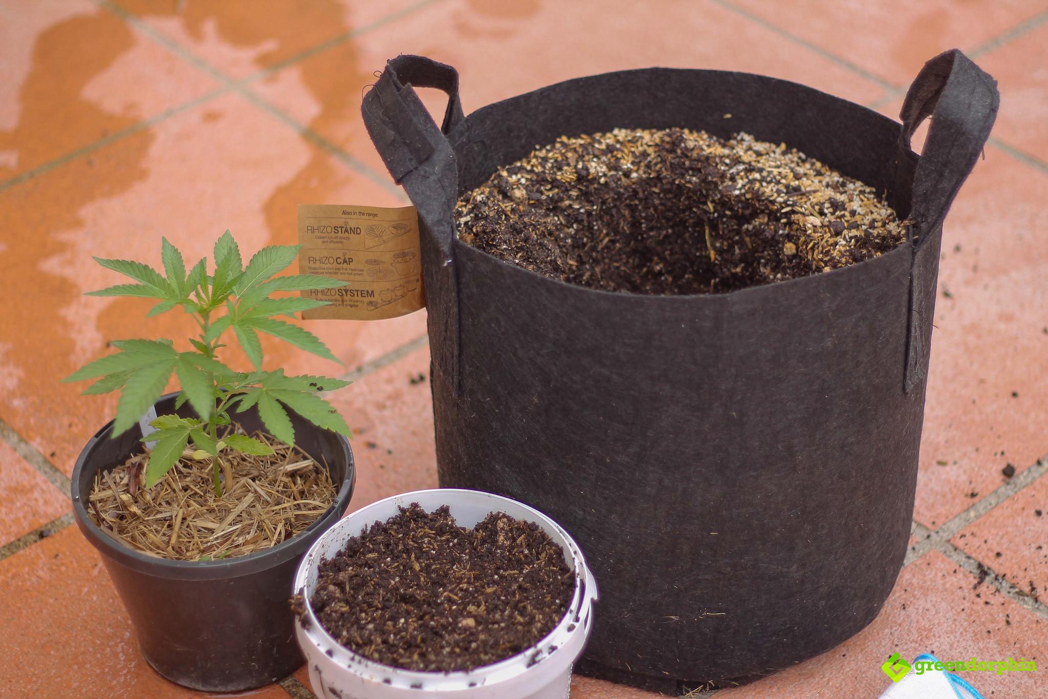 Repot Your Cannabis Plants pot size
