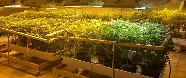 Grow Cannabis hydro