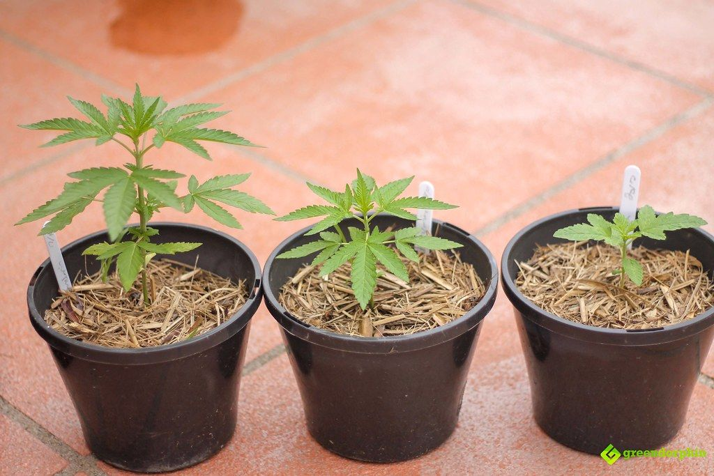 grow cannabis at home