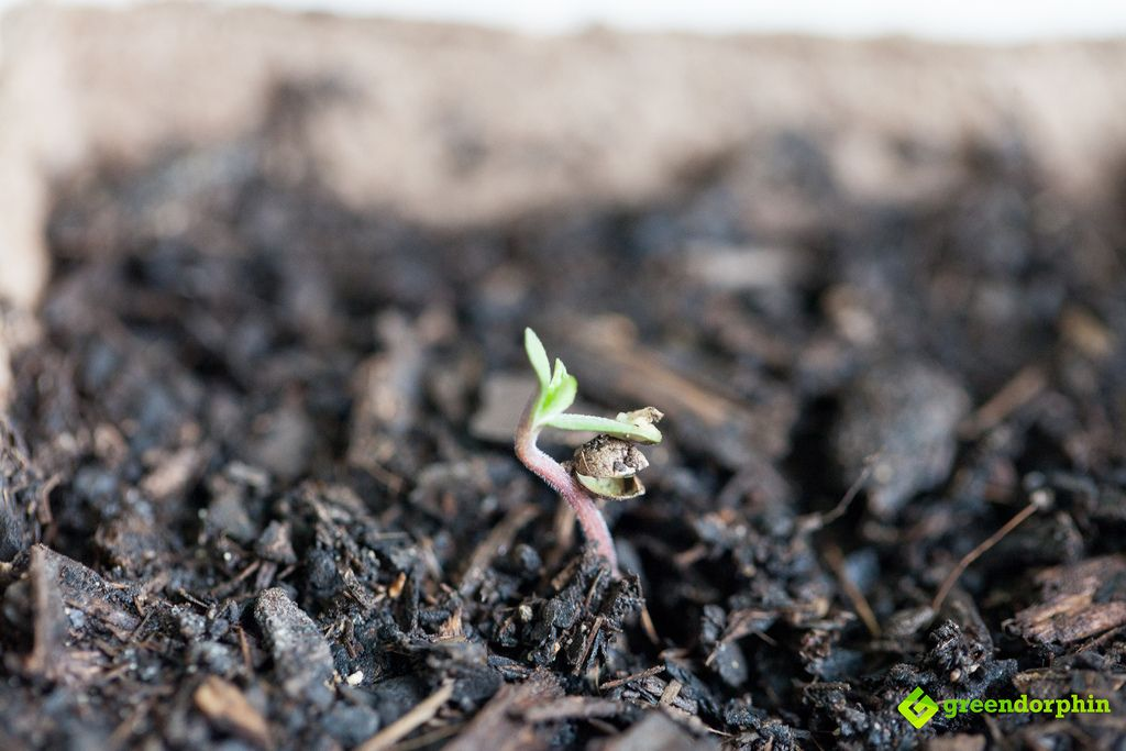 cannabis seedling in soil