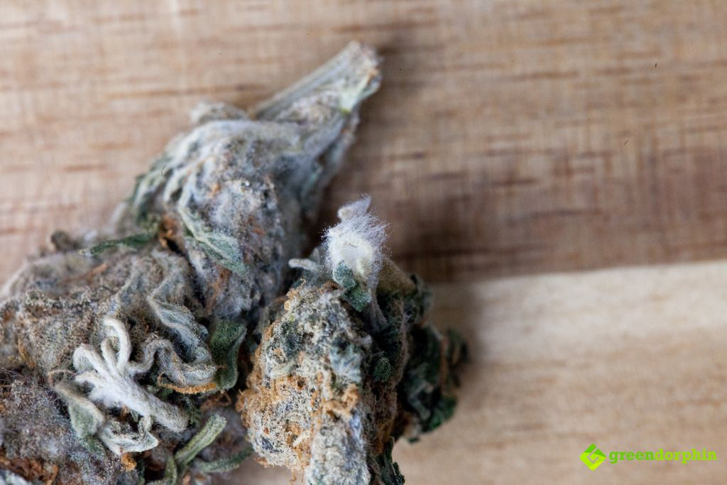 Cannabis buds with mould