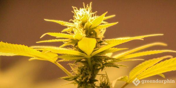 Cannabis Strains VS Vareity