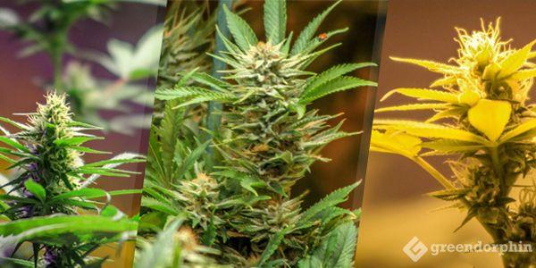 Cannabis Species