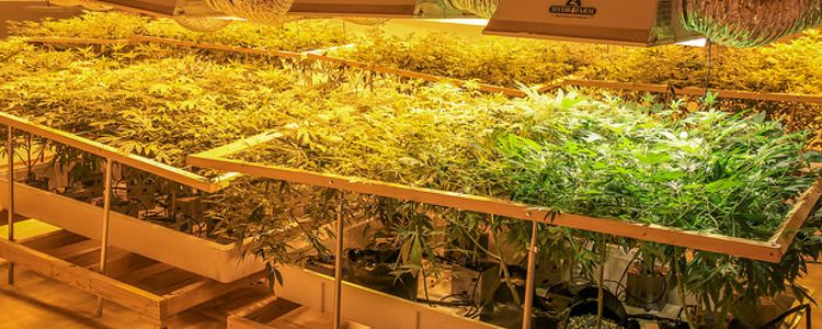 Cannabis California's Number One Cash Crop