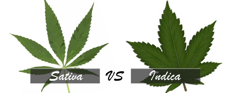 Sativa vs Indica- cannabis edibles overdose