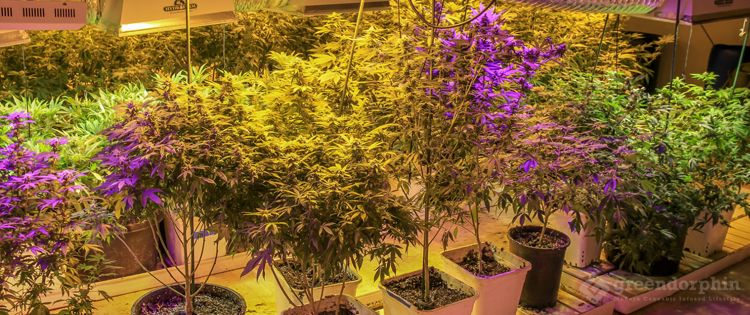 Cannabis Master Grower
