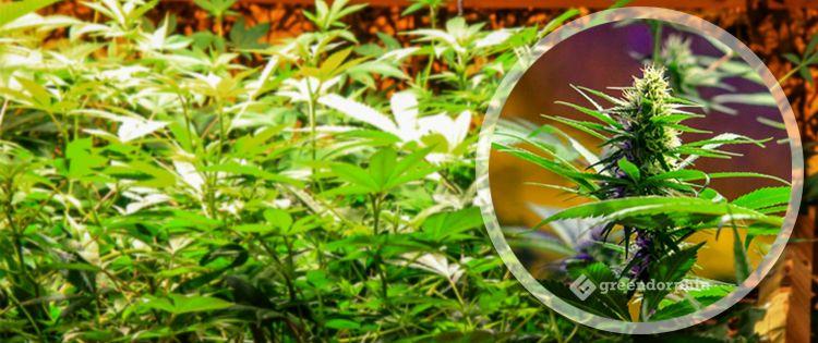 Cannabis strains VS Cannabis vareity