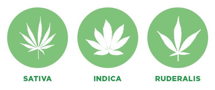 3 Cannabis Subspecies