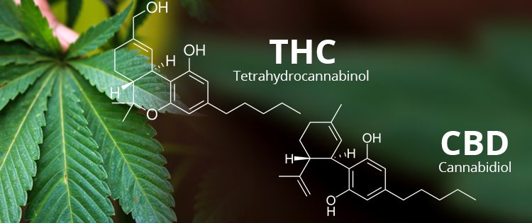 CBD in fact seems to modulate the high from THC