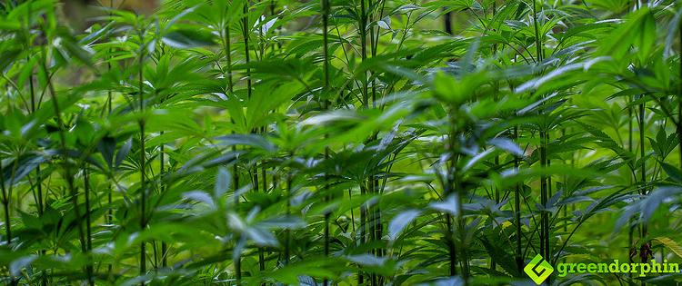 industrial hemp in Germany