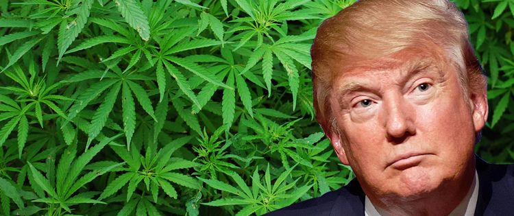 Donald Trump with cannabis leaves