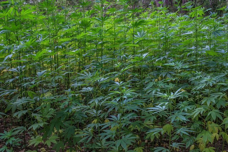 Cannabis Master Grower
