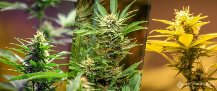 Did You Know There are 3 Cannabis Strains? Find out the Details & How They are Different