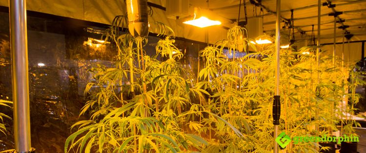 Different Types of Cannabis Grow Lights